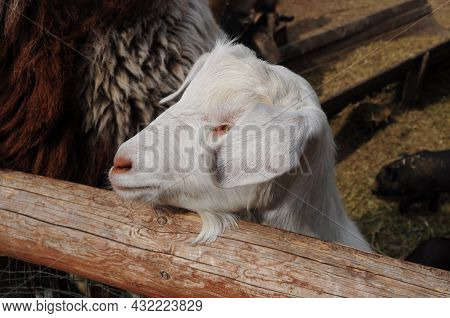 Flap-eared Breed Goat With Long Ears Covering Eyes. White Goat In Wooden Corral Of Rural Farm. Close