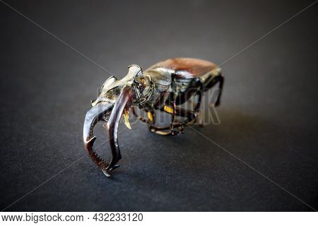 Dried European Stag Beetle On Black Background