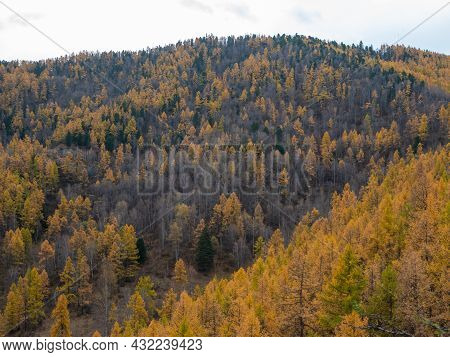 Autumn View Of The Altai Mountains And Dense Forest From The Chike-taman Pass. Chuysky Tract, Altai