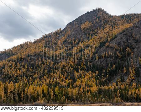 Autumn View Of The Altai Mountains And A Dense Forest Near The Village Of Aktash. Chuysky Tract, Alt