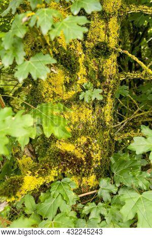 Closeup Shot Showing A Moss And Lichen Overgrown Tree Stem
