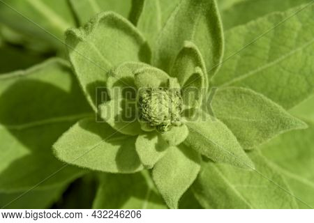 Closeup Shot Showing Some Fresh Green Velvety Leaves Seen From Above