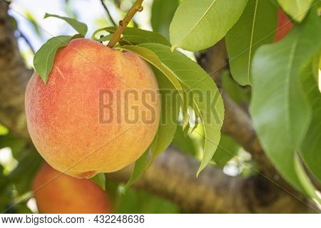 Close Up Of A White Peach Ready For Picking.