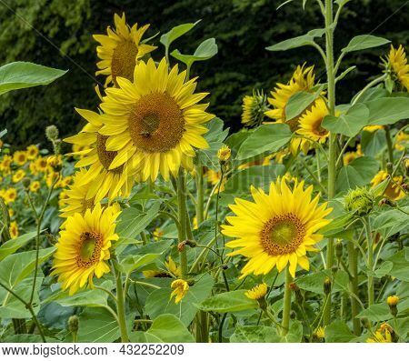 Picture Of Some Flourish Sunflowers In Dark Back
