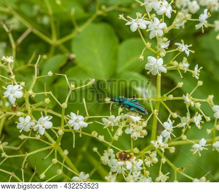 False Oil Beetle In Natural Floral Ambiance