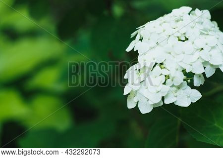 Blooming White Hydrangea Plants In Full Bloom. High Quality Photo