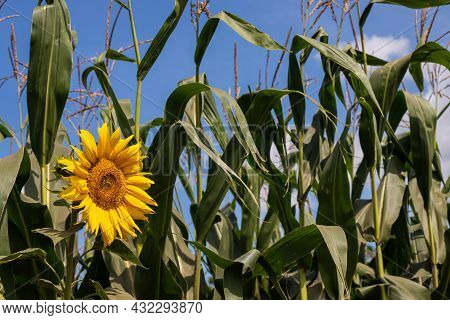 Bright Sunflower With Yellow Petals On An Agricultural Field, Of Sunflower Inflorescences Growing To