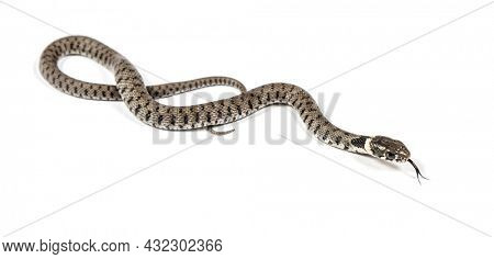 Grass snake sniffing tongue out, Natrix natrix, Isolated on white