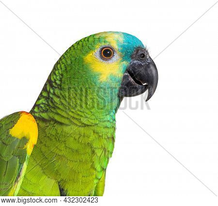 head shot Side view of Turquoise-fronted amazon isolated on white