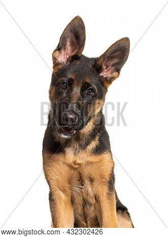 Portrait of German shepherd dog black and tan looking at camera