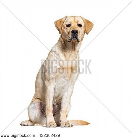 Yellow Labrador dog sitting, isolated