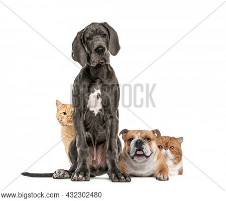 Great Dane dog sitting, bulldog lying down and European cat hiding behing dogs, isolated