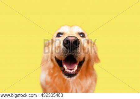 Cute Golden Retriever.beautiful Adult Golden Labrador Dog. Doggy Smiling. Isolated On Yellow Backgro