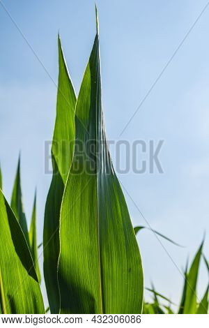 Corn Agriculture. Green Nature. Rural Field On Farm Land In Summer. Plant Growth.