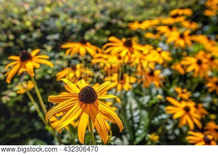 Closeup Of A Yellow Blooming Coneflower In The Morning Sunlight. A Small Spider Is Visible In The Br