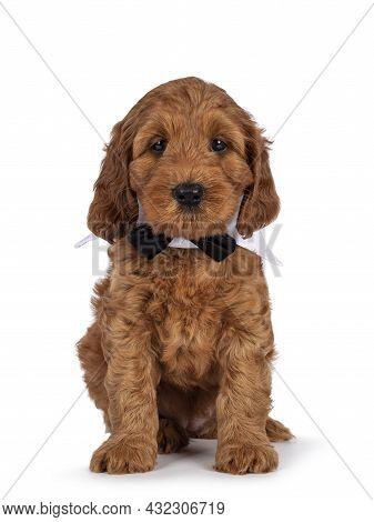 Adorable Cobberdog Puppy Aka Labradoodle Dog, Sitting Up Facing Front Wearing Gala Collar And Bow Ti