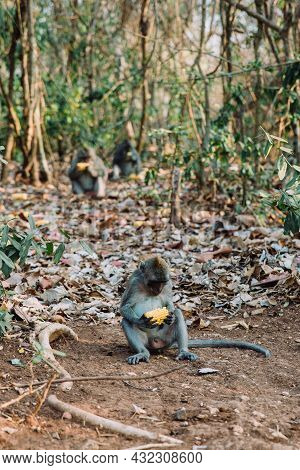 Three Long Tailed Grey Monkeys Sitting In The Woods And Eating Fresh Corns, Ubud Monkey Forest, Bali