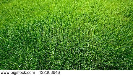 Natural Green Grass Background Or Texture. Grass Field