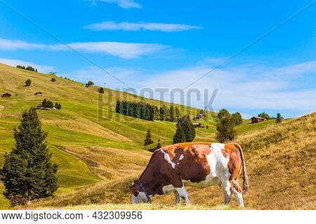 Plump farm cows graze on the hills. Alpe di Siusi is charming plateau in the Dolomites, Italy. Indian summer in the Dolomites. The concept of walking, ecological and photo tourism