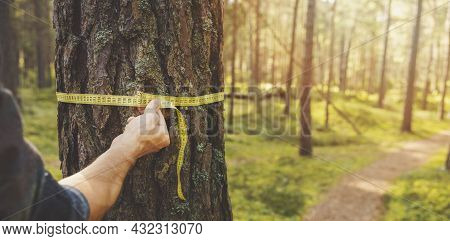 Deforestation And Forest Valuation - Man Measuring The Circumference Of A Pine Tree With A Ruler Tap