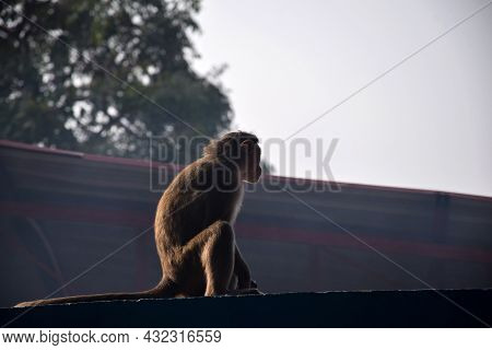 Stock Photo Of Grey Hair Indian Monkey Sitting On The Roof Of The Building And Eating Something At Y