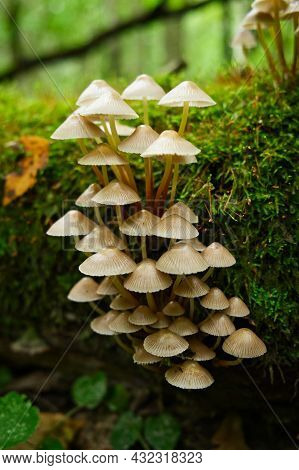Group Of Toadstool Mushrooms On Mossy Tree Trunk In The Autumn Forest. Dangerous Poison Mushrooms. M