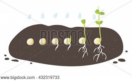 Germination Stages. Green Pea Seeds Germinate In Ground. Growing Plant. Development Of Vegetables Cy