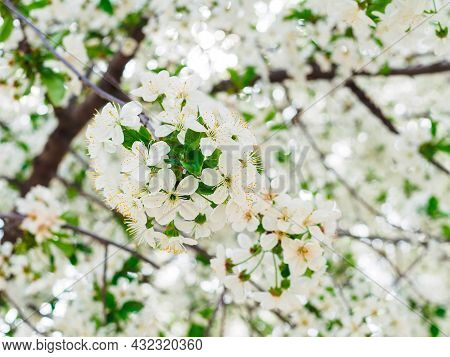 Branch Of White Flowering Cherry In The Garden Close-up