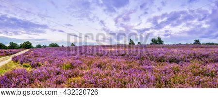 Vivid Twilight In The Famous Purple Summer Bloom Of The Lueneburg Heath, Near The Wilseder Mountain,