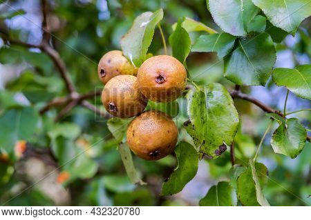 Ripened Small Pears On A Branch. Pears On A Tree. Pear Fruit Tree.