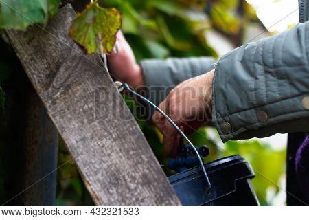 Defocus Woman Putting Bunch Grape In Bucket. Red Wine Grapes On Vine In Vineyard, Close-up. Winemake