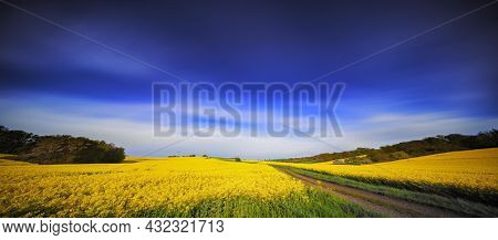 Panorama of rapeseed field with country road and summer blue sky