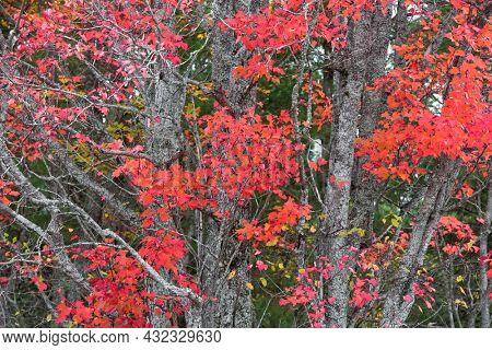 Close up shot of Sugar Maple tree with fall foliage