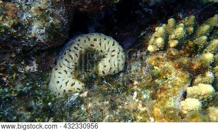 Pineapple Coral Or Knob Coral, Honeycomb Coral (dipsastraea Favus. Previously Called Favia Favus) Un