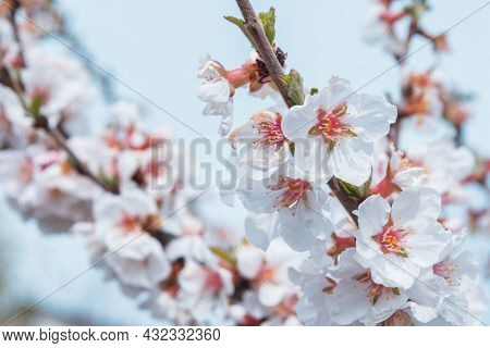 A Blooming Spring Garden. Blooming Cherry (latin: Prunus Tomentosa) Close Up. Soft Selective Focus.