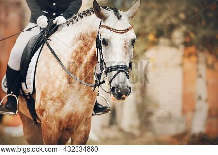 Portrait Of A Beautiful Dappled Horse With A Braided Mane And A Rider In The Saddle, Against The Bac