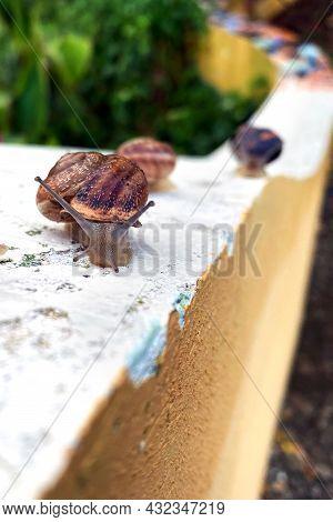 Helix Pomatia In Garden . Crawel Snail After Rain.
