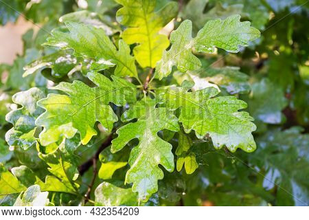 Oak Tree With Young Oak Leaves. Green Oak Leaves On Banch In The Forest. Sunlight, Wet Leaves After