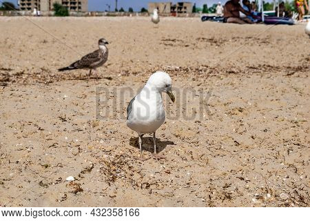 An Adult Great Black-backed Gull Stands On The Beach, Close-up. Seabird On The Sandy Black Sea Coast
