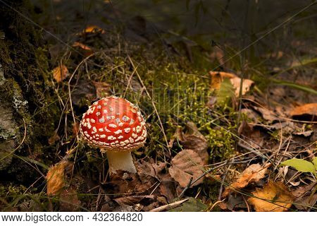 Red Fly Agaric Mushroom Or Toadstool At The Forest