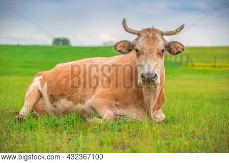 Cow In A Meadow Grass In Farmland.