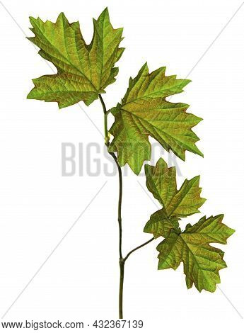 Maple Leaf , Canadian Symbol, Red Maple Leaf.  Maple Leaves. Isolated. Spring Young Greenery For Dec