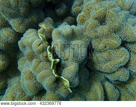 Soft Coral Rough Leather Coral (sarcophyton Glaucum) Undersea, Red Sea, Egypt, Sharm El Sheikh, Nabq