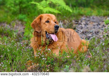 A Beautiful Dog Lies In A Forest Glade And Looks To The Side.