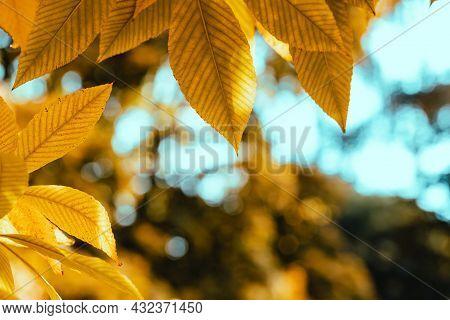 Abstract Autumn Background. Yellow Buckeye Tree. Vibrant Orange And Yellow Leaves Close Up. Tree Bra