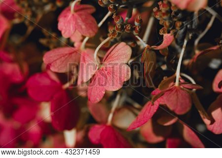 Delicate Pink Hydrangea Flowers In Soft Sun Light Close-up. Bright Floral Background. Romantic Weddi