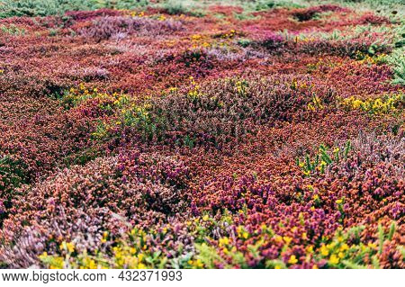 Colorful Heather, Calluna Vulgaris, Also Called Scotch Heather Or Ling, Low Evergreen Shrub Of The H