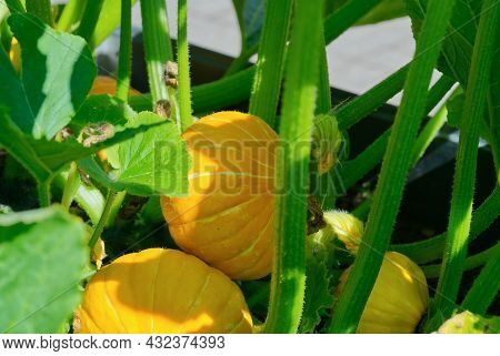 Big Pumpkin Growing On A Pumpkin Patch In A Village Close Up