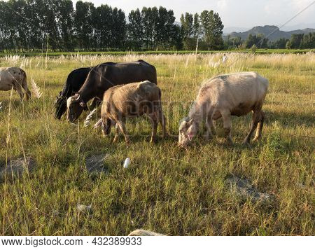 Cattle Grazing In The Wild In Swat Valley