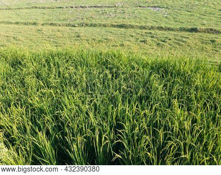 Rice Crop In The Fields River Swat